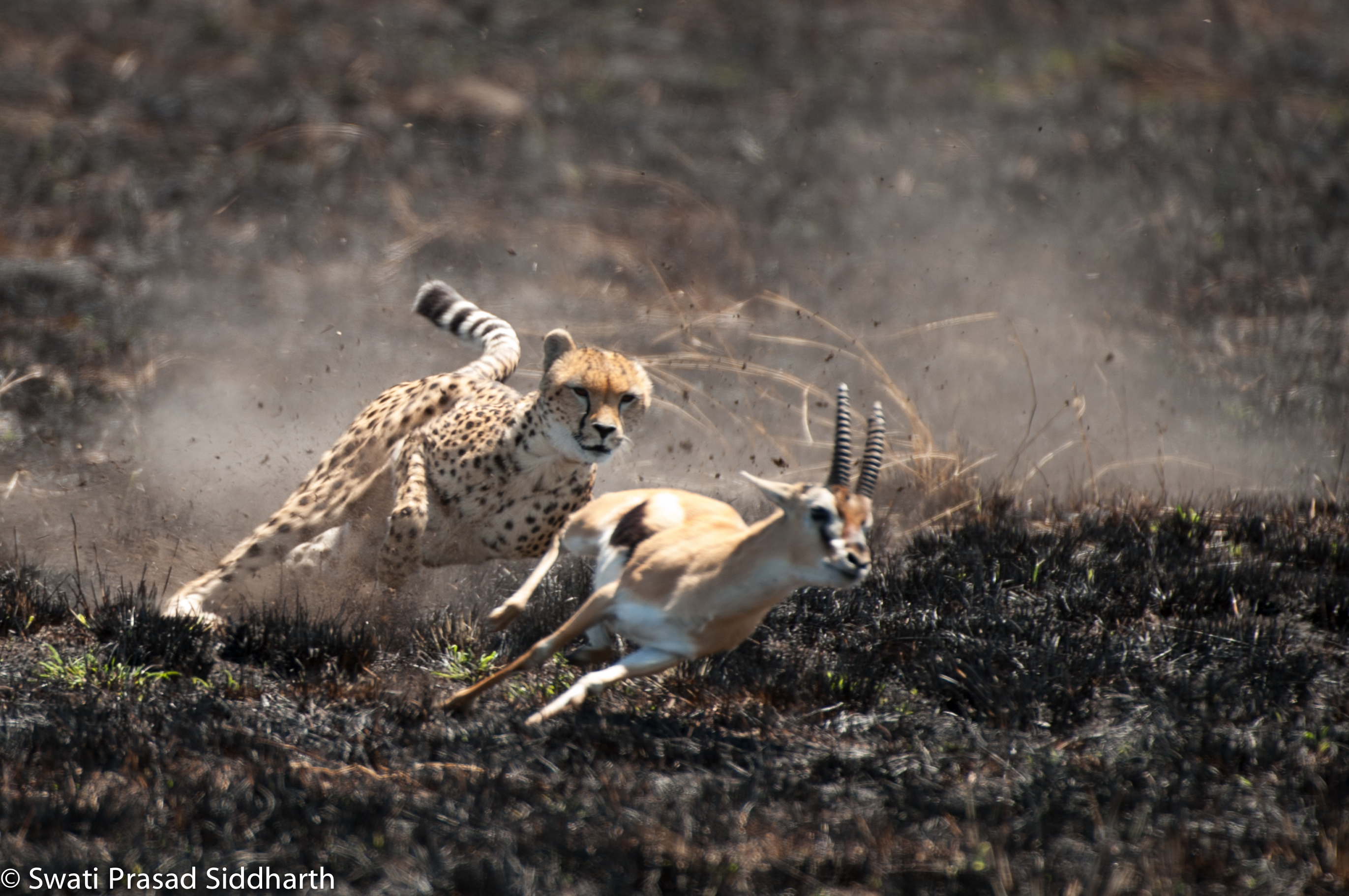 cheetah chasing gazelle gif