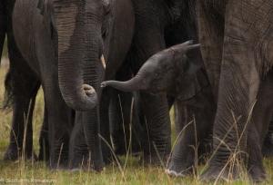 Elephant - Porini - 2013-3