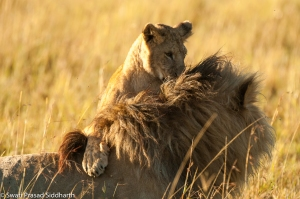 Porini Lion Camp - March 2013-79
