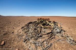 Kharos, Khurub, Welwitschia - The Living Fossil-3