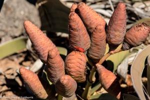Kharos, Khurub, Welwitschia - The Living Fossil-6