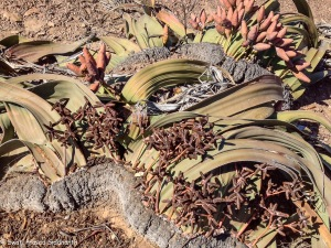 Kharos, Khurub, Welwitschia - The Living Fossil-7
